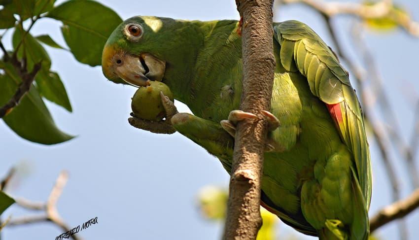 Yellow crowned parrot (Amazona ochrocephala)
