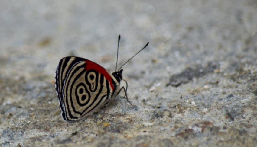 Mariposa Minca